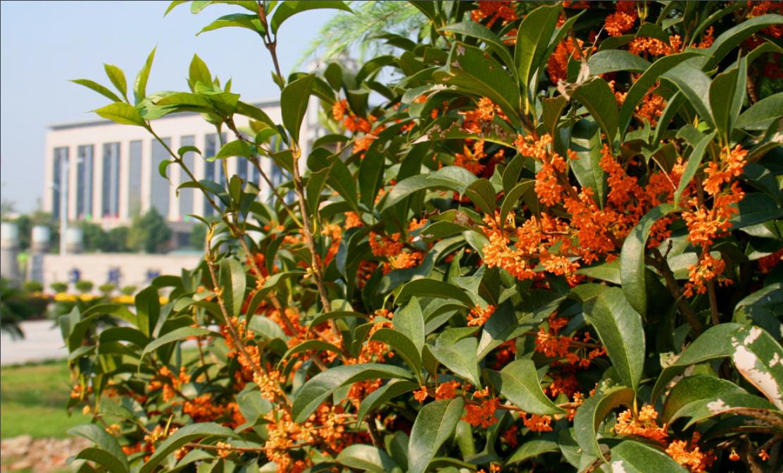 丹桂种植基地