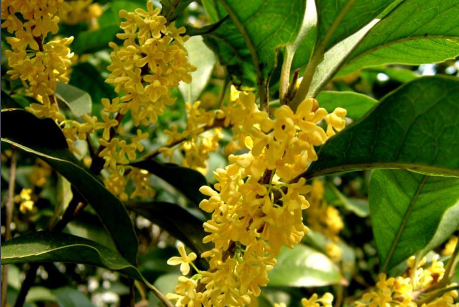 金桂种植基地